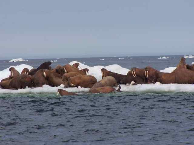 Walrus festival